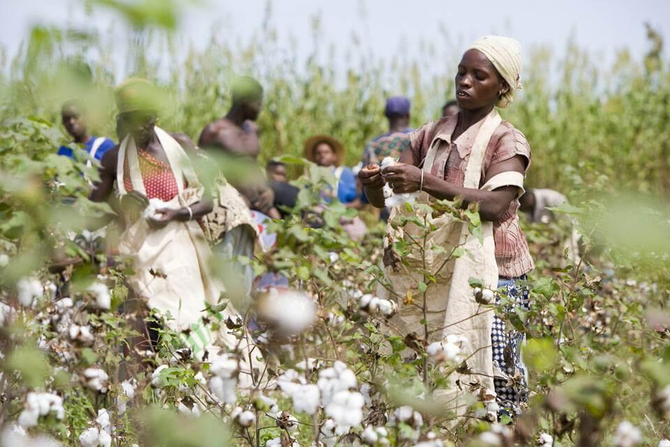 Admarc Invests In Cotton Farmi...