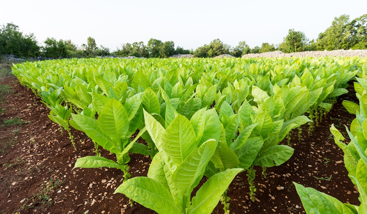 TOBACCO OUTPUT DOWN BY 6.62%...