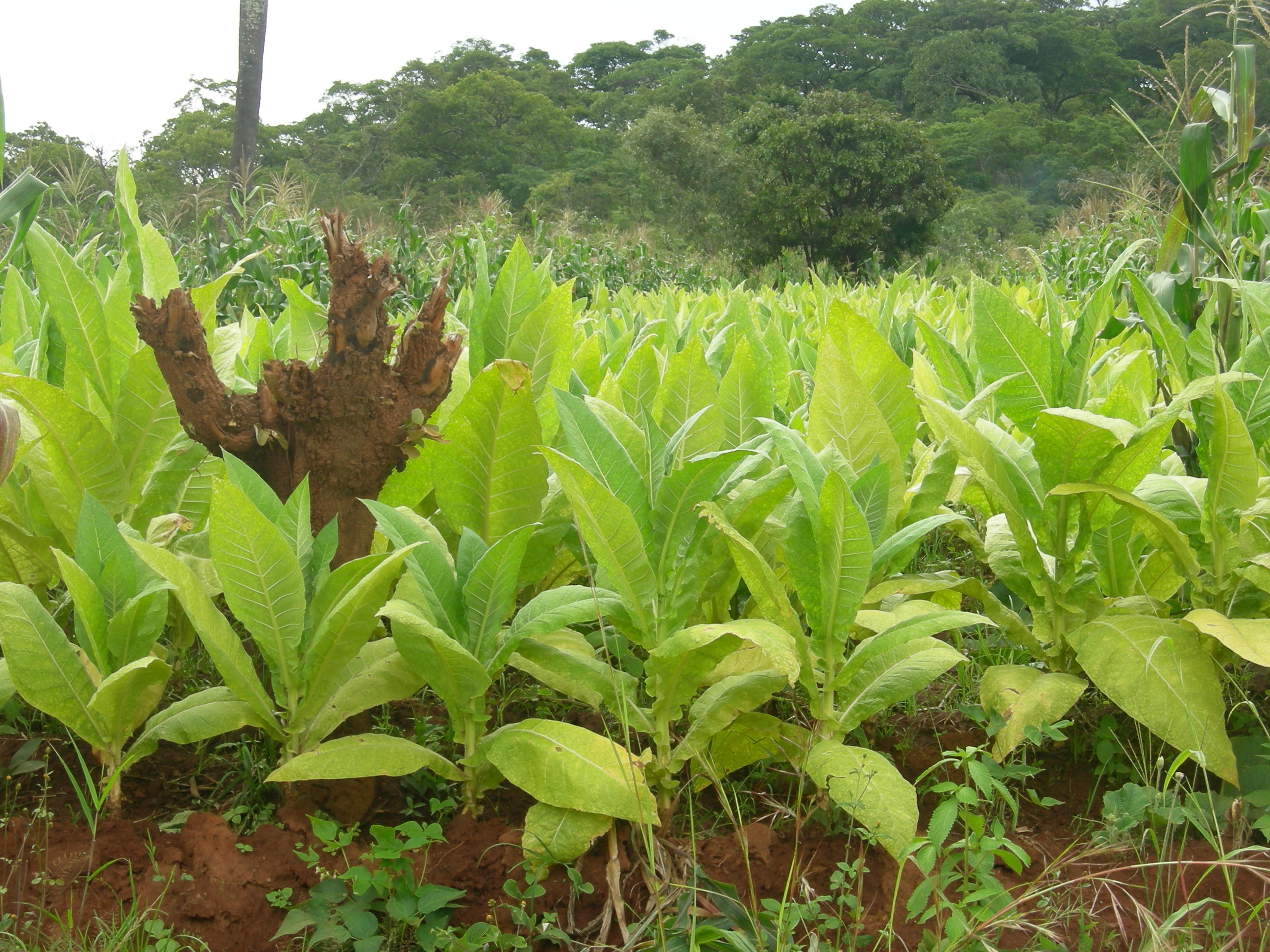 FIRST TOBACCO OUTPUT SURVEY BE...